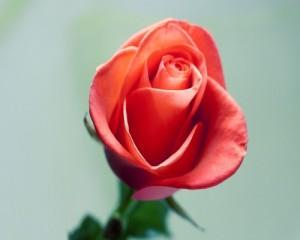 Fleur f C3 AAte des m C3 A8res 2 300x240 Fleur fête des mères