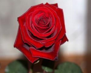 Fleur f C3 AAte des m C3 A8res 3 300x240 Fleur fête des mères